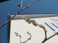 ジューンベリー花芽4_4