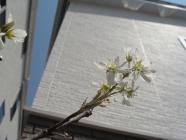 ジューンベリー開花4_8