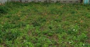 ナガミヒナゲシ空き地