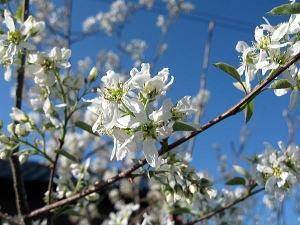 ジューンベリー 花�