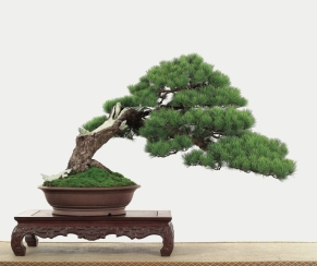2011中華松樹盆栽協會 五葉松 嚴茂林 金