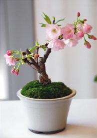 ミニ盆栽サクラ